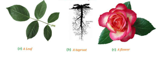 NCERT Solutions for Class 6 Science Chapter 7 Getting to Know Plants
